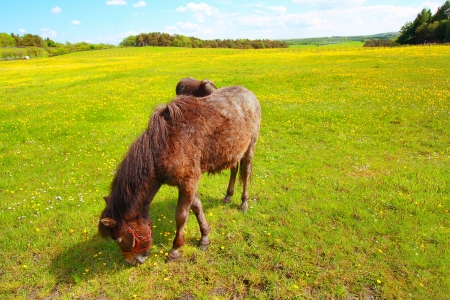 Two horses in the Spring meadow with yellow buttercups photo