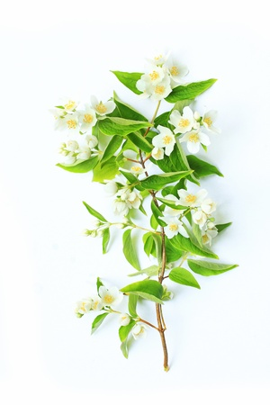 Jasmine flowers background on white Stock Photo - 21158663
