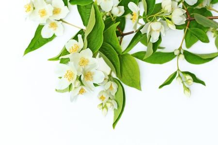 Jasmine flowers background on white Stock Photo - 21158667
