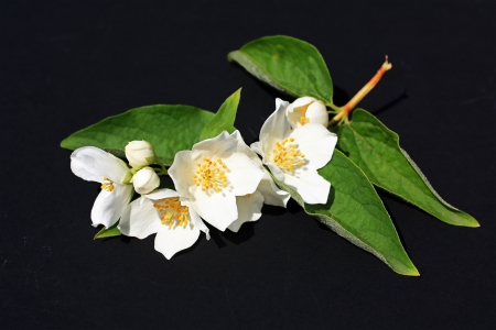 Jasmine flowers background on black Stock Photo - 21158702