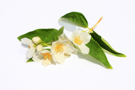 Jasmine flowers background on white Stock Photo - 21158714