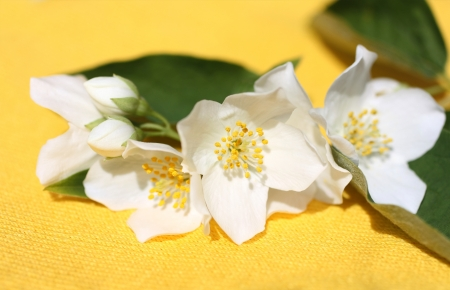 Jasmine flowers background on yellow Stock Photo - 21158717