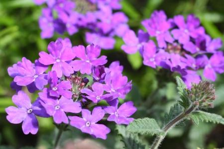 Beautiful verbena close up  in the garden  photo