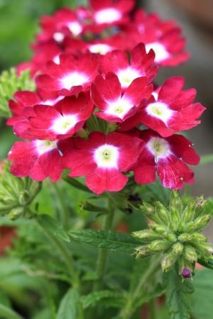 l natural: Beautiful blooming verbena close up Stock Photo