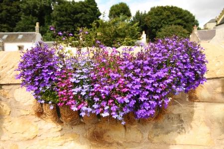 lobelia: Hanging basket with beautiful lobelia flowers  Stock Photo
