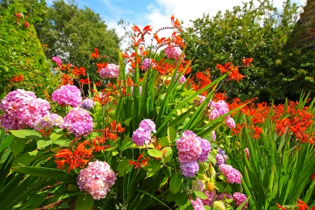 lucifer: Crocosmia Lucifer and pink hydrangeas in the garden Stock Photo