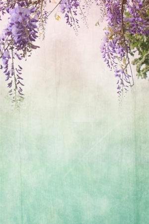 Old grungy background with violet wisteria  Stock Photo