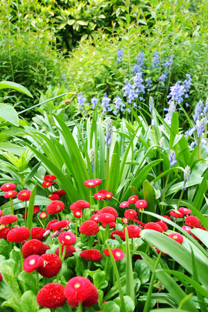 Beautiful red daisies flowerbed  photo