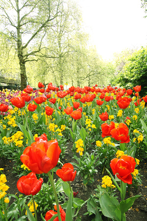 Beautiful tulips in St James Park in London photo