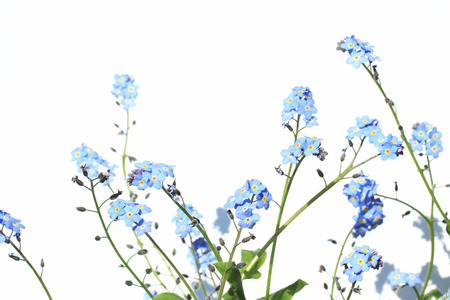 Forget Me Not Flower photo
