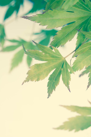 Green leaves of Japanese maple tree, background, vintage style,