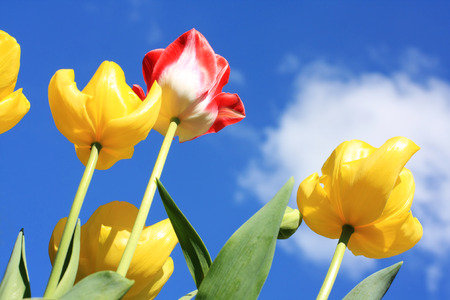 Beautiful Spring tulips against blue sky photo
