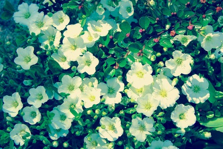 Pretty White Flowers Blooming in the rock garden, vintage style photo