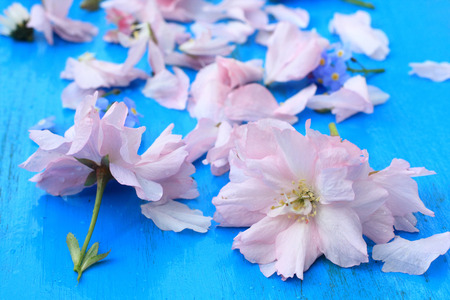 Pink Japanese cherry flowers on retro blue wooden background photo