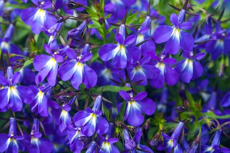 lobelia: Blue lobelia flowers,lobelia erinus, closeup background