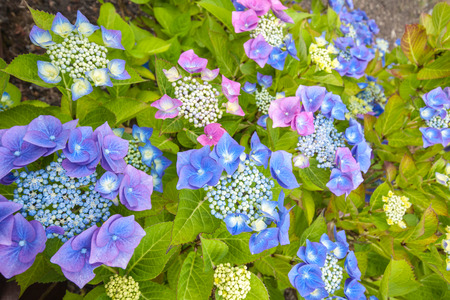 Blue hydrangea blooming in the home garden