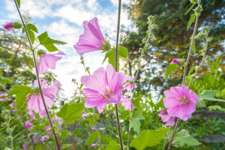 tera: Pink hollyhock flowerrs blooming in the home garden Stock Photo