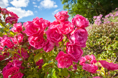garden of eden: Pink roses in the Garden