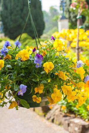 hanging basket: Beautiful yellow pansy flowers in hanging basket