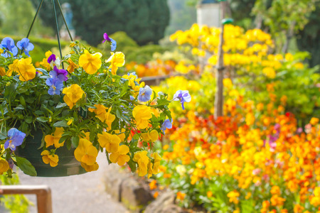 Beautiful yellow pansy flowers in hanging basket photo