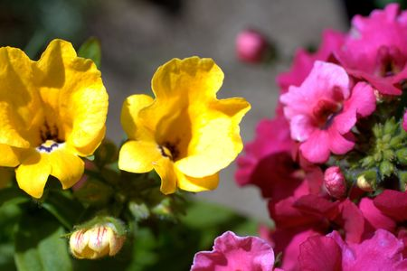 yelow: Yelow and pink nemesia flowers close up