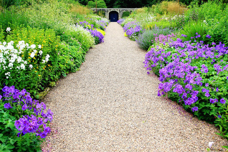 Violet geranium flowers along the path in the garden 스톡 콘텐츠