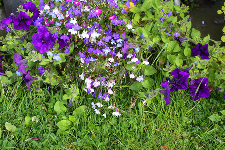lobelia: Violet lobelia blossom in the garden , summertime