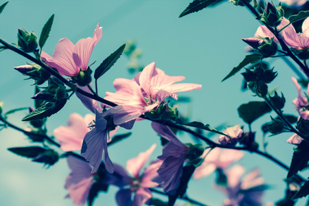 blumen: Beautiful pink Hollyhock flowers in the g blooming in arden Stock Photo