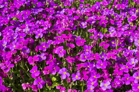 fleck: Close up of a large fleck of Aubrieta deltoidea, also known as purple rock cress.