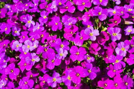 fleck: Close up of a large fleck of Aubrieta deltoidea also known as purple rock cress. Stock Photo