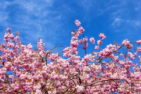 5 월의 아름다운 일본 벚꽃 스톡 콘텐츠