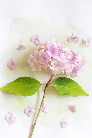 Subtile floral künstlerischen backgrodund mit Hortensiablumen Standard-Bild - 47743015