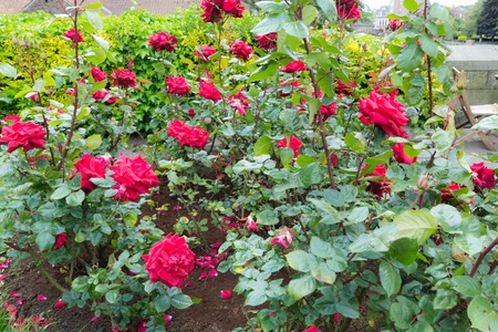 Beautiful blooming red roses in the garden