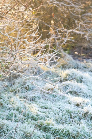 christmas grounds: Beautiful winter nature with grass covered with snow and frost