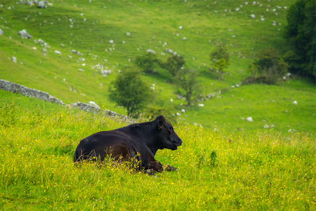 yorkshire dales: A black bull at Mahlam, Yorkshire Dales, England