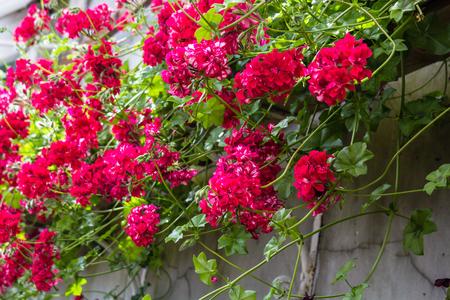 trailing: Red trailing pelargonium close up Stock Photo