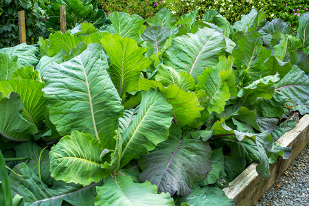 cabbage patch: Cabbage growing in the garden close up