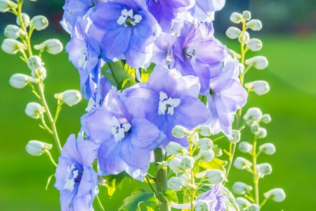 after midnight: Delphinium After Midnight, close up of abundant blue flowers on a single stem