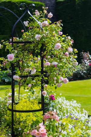 Bella rosa chiaro roseto
