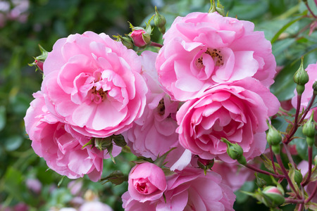 climbing plant: Lovely pink climbing roses