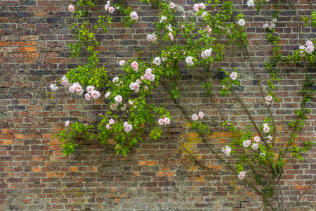 Pink climbing roses against brick wall