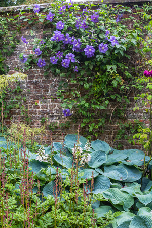 unpretentious: clematis. Beautiful purple flowers of clematis over old gardenw all