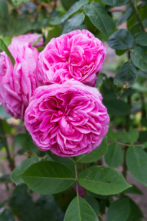 bush to grow up: Pink roses blossom in the garden close up