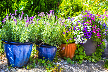 lobelia: Beautiful colorful potted plants and shrubs in the summer garden
