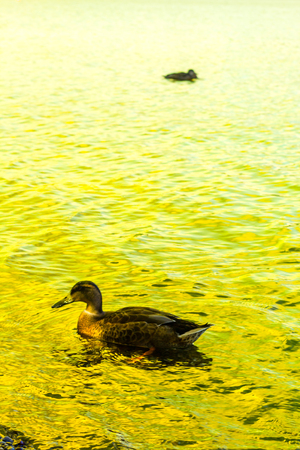 loch lomond: Duck swimming in the Loch Lomond lake in Luss, Scotland, UK