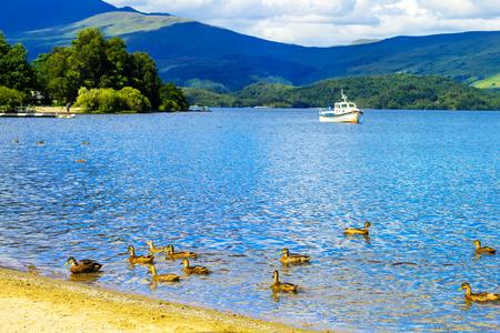 loch lomond: Ducks swimming in the Loch Lomond lake in Luss, Scotland, UK