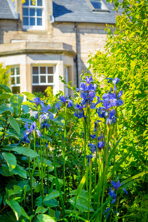 front house: Blue iris flowers in front of the old house