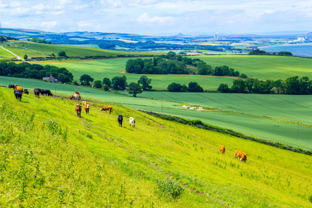 uplands: A herd of cows graze in a field in Scotland, Scottish summer landscape, East Lothians, Scotland, UK