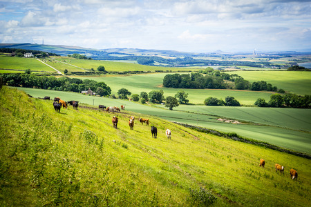 uplands: A herd of cows in a field in Scotland,Scottish summer landscape, East Lothians, Scotland, UK