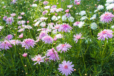 arvensis: Beautiful Scabioza flowers in the garden